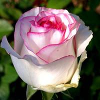 Троянда чайно-гібридна Дольче Віта