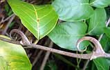Кошачий Коготь (Cat`s Claw, Uncaria Tomentosa) порошок 200 грамм, фото 2