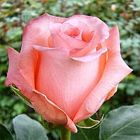Троянда чайно-гібридна Ангажемент
