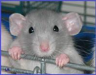 Крысы ДАМБО.Дамбоухие крысы.