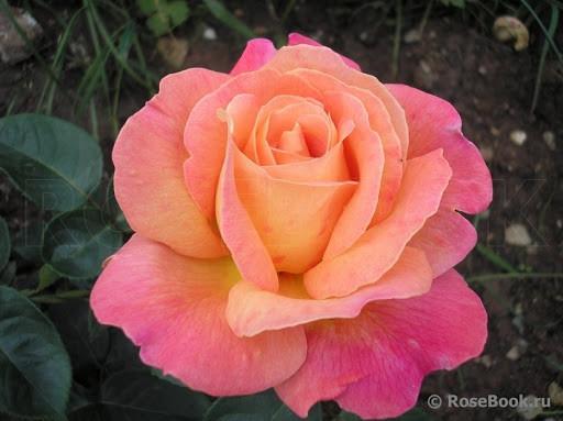 Троянда чайно-гібридна Чикаго Піс