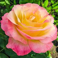 Троянда чайно-гібридна Глорія Дей