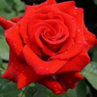 Саженцы розы чайно-гибридной Валентино (Rose Valentino)