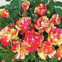 Саженцы розы флорибунда Карнавал (Rose Carnavale)