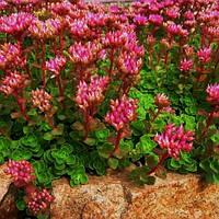 Саджанці Очитку помилкового (sedum spurium)
