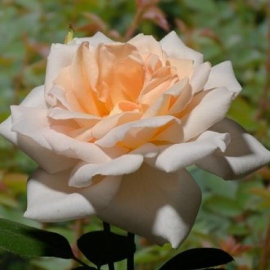 Саженцы розы - плетистой Гранд Могул (Rose Grand Mogul)