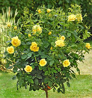 Саженцы розы штамбовой Еллоу Долл