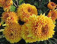 Хризантема бордюрная  МИАТИДА низкая