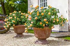 Троянди в крупномірі 6 літрів