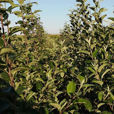 Саженцы яблони на карликовом подвое Б7-35 - Весна 2021