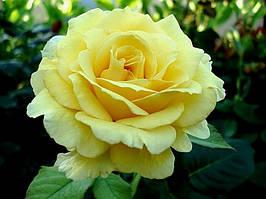 Троянда чайно-гібридна Голден Медальйон