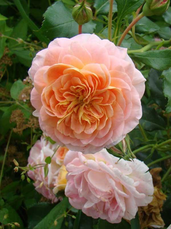 Роза в'юнка Полька