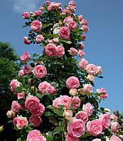 Троянда в'юнка П'єр де Ронсар