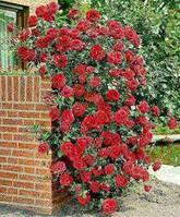 Троянда в'юнка Сантана