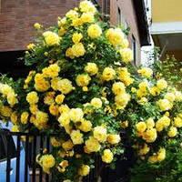 Троянда в'юнка Голден Шауэрс