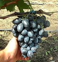 Краса Балок - саженцы раннего винограда
