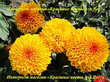 Хризантема бордюрна держак 2020, фото 4