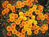 Хризантема АУСМА (рання-серпень), фото 3
