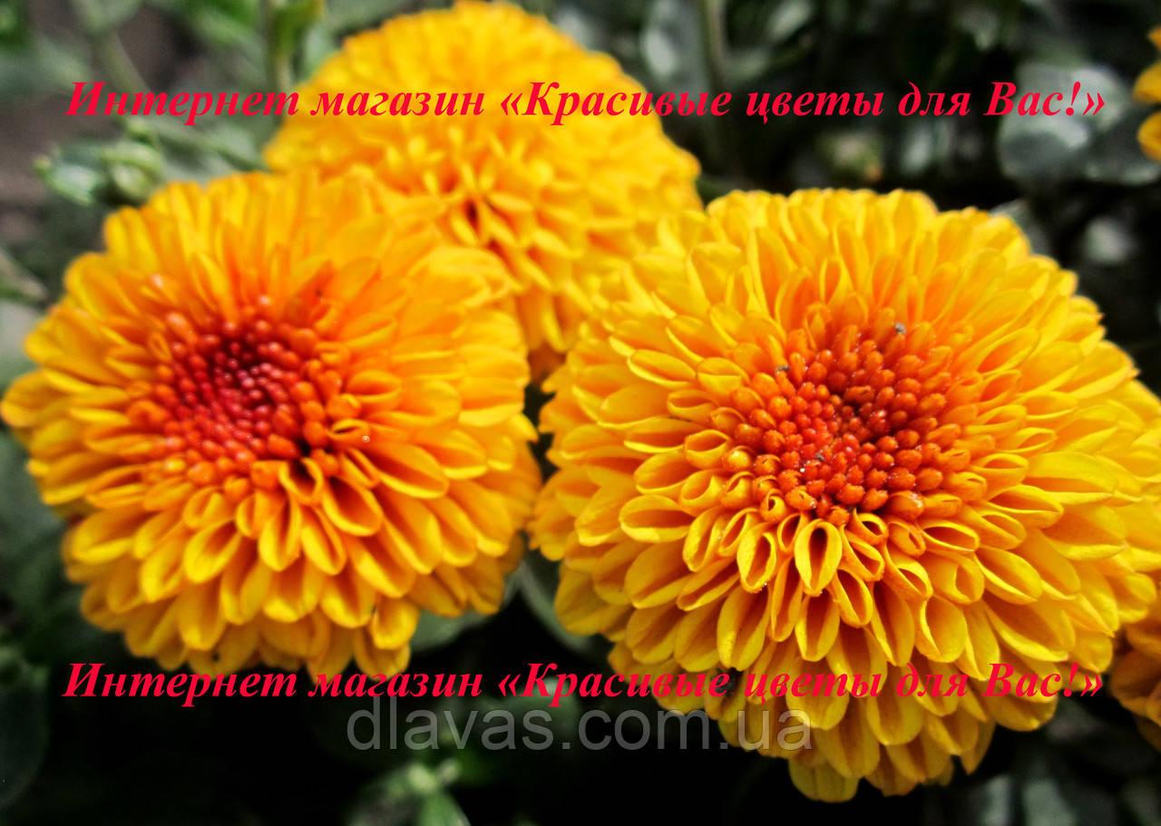 Хризантема АУСМА (рання-серпень)