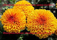 Хризантема бордюрная РАННЯЯ, фото 1