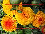 Хризантема бордюрна держак 2020, фото 2