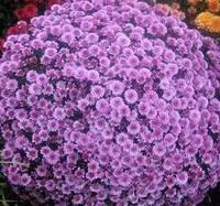Хризантема   мультифлора Сильвер, фото 1