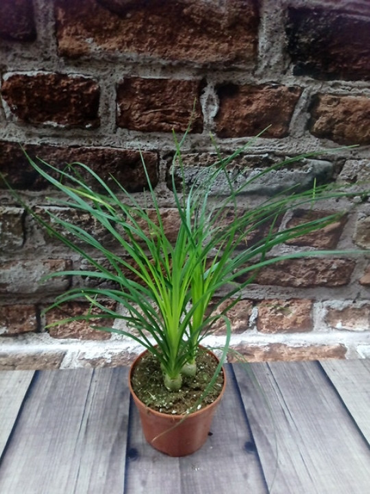 Горщечне рослина Нолина (Бокарнея)