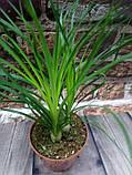 Горщечне рослина Нолина (Бокарнея), фото 2