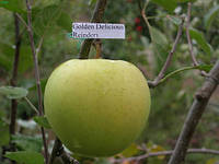 Саженцы яблони Голден Делишес Рейдер
