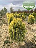 Thuja orientalis 'Morganii', Туя східна 'Моргані',WRB - ком/сітка,45-50см, фото 2