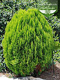 Thuja orientalis 'Morganii', Туя східна 'Моргані',WRB - ком/сітка,45-50см, фото 4