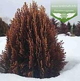 Thuja orientalis 'Morganii', Туя східна 'Моргані',WRB - ком/сітка,45-50см, фото 5