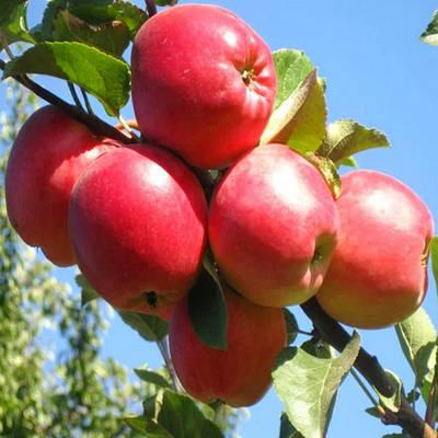 Саженцы яблони на подвое 54-118 - Весна 2021
