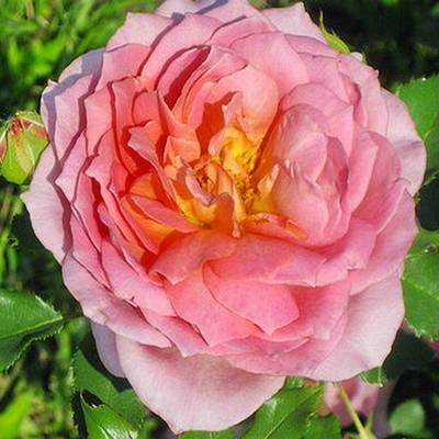Саженцы роз - Весна 2021
