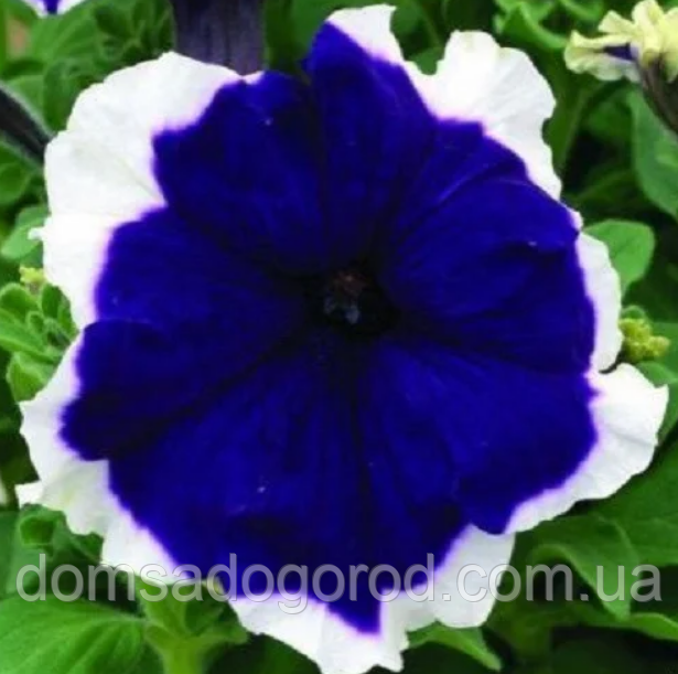 Семена петунии грандифлора Хулахуп F1 синяя 1 000 шт Sakata (Проф упаковка 1 000 шт)