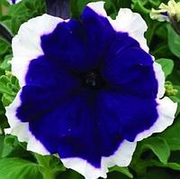 Насіння петунії грандифлора Хулахуп F1 синя 1 000 шт Sakata (Проф упаковка 1 000 шт)