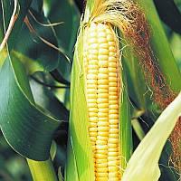 Гибрид кукурузы НК Делитоп компании Syngenta
