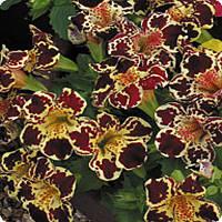Семена цветов губастика крупноцветкового Formula Mixed 100 драже