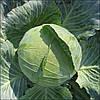 Капуста Бригадир F1 Clause 2500 семян