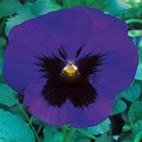 Семена цветов фиалки Blue Blotch 500 с Китано