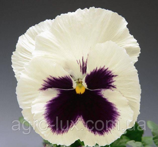 Семена фиалки Династия  White Blotch 500 с Китано