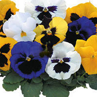 Семена цветов фиалки Formula Mixed 500 с