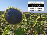 Семена ЕС Бесана устойчивые к жаре и семи расам заразихи A-G+. Высокоурожайный гибрид ЕС Бесана 48ц/га. Экстра, фото 5
