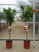 Цитрусы лимон, мандарин, апельсин выс. 120-150см.