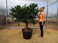 Супер Мандарин гигант, цитрусовое дерево выс. 160-190см.