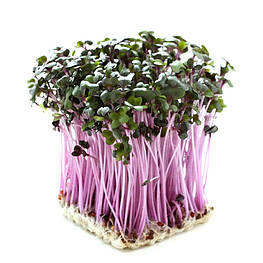 Семена редиса для проращивания ростков 100 г