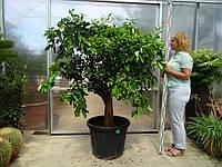 Апельсин Citrus sinensis гигант, цитрусовое дерево выс. 160-190см.