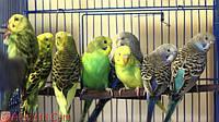 Что должно быть в клетке волнистого попугая