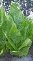 Табак Вирджиния Голд. 0,1гр