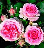 Роза Mimi Eden (Мімі Еден) спрей бордюрна 1 саджанець, фото 2
